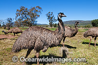 Emu flock Photo - Gary Bell