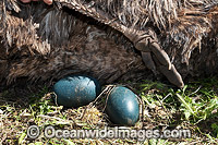 Emu males sitting on eggs Photo - Gary Bell