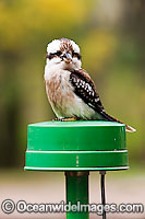 Laughing Kookaburra on power pole Photo - Gary Bell