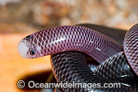 Blackish Blind Snake (Ramphotyphlops nigrescens). Found throughout eastern Australia, from southern Queensland to Victoria, usually under rocks and logs in woodlands and rock outcrops. Non venomous. Photo taken Coffs Harbour, New South Wales, Australia Photo: Gary Bell
