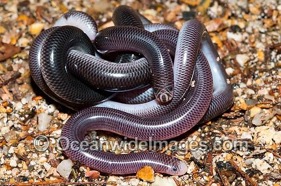 Blind Snake Australia Blackish Blind Snake