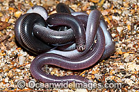 Blackish Blind Snake (Ramphotyphlops nigrescens) - a pair coiled together. Found throughout eastern Australia, from southern Queensland to Victoria, usually under rocks and logs in woodlands and rock outcrops. Non venomous. Coffs Harbour, NSW, Australia Photo: Gary Bell