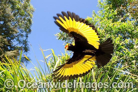 Rainforest Birds Flying male flying