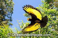 Regent Bowerbird flying