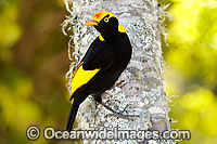 Regent Bowerbird (Sericulus chrysocephalus) - male. Found in cool temperate mountain rainforests, coastal rainforests, dense thickets and blackberry in S.E. Qld and N.E. NSW, Australia. Photo taken Lamington World Heritage National Park, Qld, Australia Photo: Gary Bell