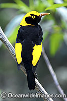 Regent Bowerbird male Photo - Gary Bell