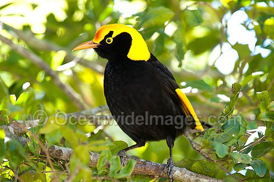 Regent Bowerbird (Sericulus chrysocephalus) - male. Found in cool temperate mountain rainforests, coastal rainforests, dense thickets and blackberry in S.E. Qld and N.E. NSW, Australia. Photo taken Lamington World Heritage National Park, Qld, Australia Photo - Gary Bell