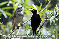 Regent Bowerbird male photo