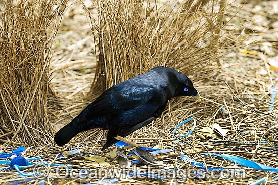 Satin Bowerbird (Ptilonorhynchus violaceus) - male at display bower decorated with blue collectables, such as plastic straws, bottle tops & feathers placed to entice female. Found in rainforests, wet eucalypt forests & woodlands of south-eastern Australia Photo - Gary Bell