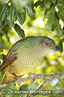 Satin Bowerbird female image