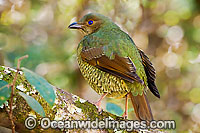 Satin Bowerbird female Photo - Gary Bell