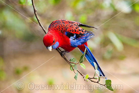Crimson Rosella (Platycercus elegans elegans). Found in rainforests, wet eucalypt forests and forests near farm lands of the eastern coast and ranges of south-eastern Australia. Photo taken Lamington World Heritage National Park, Queensland, Australia. Photo - Gary Bell