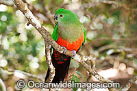 Australian King Parrot female Photo - Gary Bell