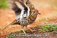 Bassian Thrush Photo - Gary Bell