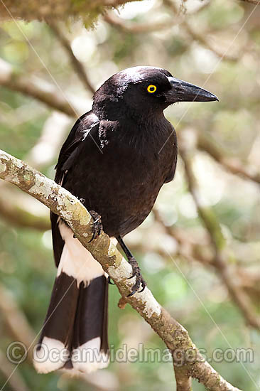 Pied Currawong (Strepera graculina). Found in a variety of habitat ranging from woodlands, rainforests, scrublands to farmlands and gardens throughout eastern Australia. Photo taken Lamington World Heritage National Park, Queensland, Australia. Photo - Gary Bell