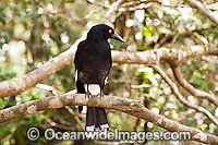 Pied Currawong (Strepera graculina). Found in a variety of habitat ranging from woodlands, rainforests, scrublands to farmlands and gardens throughout eastern Australia. Photo taken Lamington World Heritage National Park, Queensland, Australia. Photo: Gary Bell