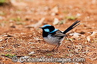 Superb Fairy-wren Malurus cyaneus Photo - Gary Bell