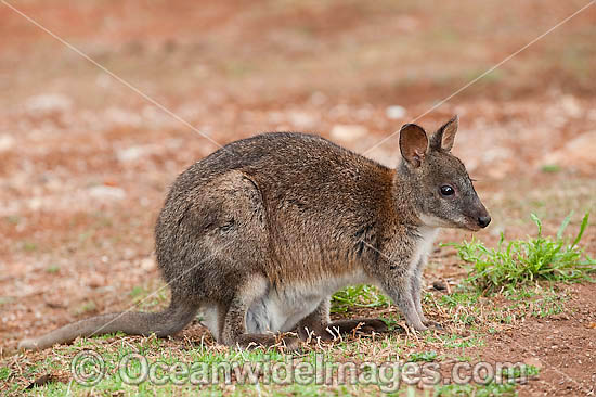 pademelon pet - photo #10