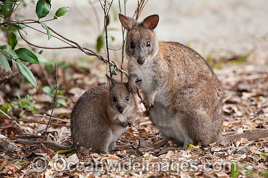 Portuguese might have been first Europeans to discover Australia, hints tiny drawing  Red-necked-pademelon-24T5006-08D