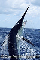 Black Marlin breaching photo