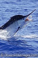 Black Marlin breaching Photo - John Ashley