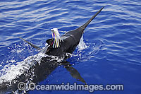 Blue Marlin on surface