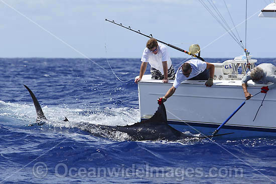 Blue Marlin and snooter photo