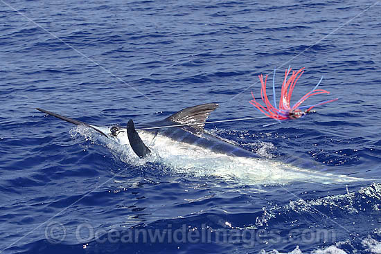 Indo-Pacific Blue Marlin on surface photo