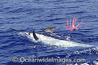 Indo-Pacific Blue Marlin on surface Photo - John Ashley