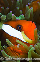 Tomato Clownfish Amphiprion frenatus Photo - Michael Patrick O'Neill