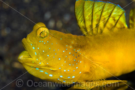 Yellow Shrimp Goby (Cryptocentrus cinctus). Found thoughout SE Asia and Indo-W. Pacific, including Great Barrier Reef.