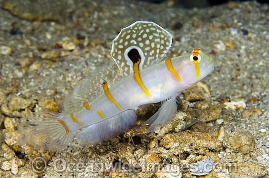 Randall's Shrimp Goby (Amblyeleotris randalli), also known as Sailfin Goby. Found throughtout Indo Pacific, including Great Barrier reef.