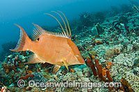 Hogfish Photo - MIchael Patrick O'Neill
