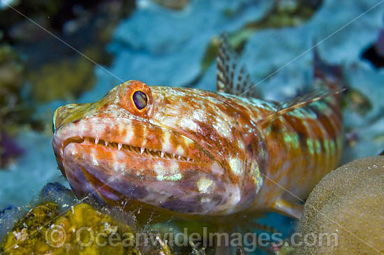 Reef Lizardfish (Synodus variegatus). Found throughout S.E. Asia and Indo-C. Pacific, including Great barrier Reef. Photo taken in Komodo National Park, Indonesia