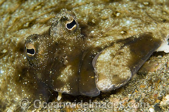 Left-eye Flounder photo