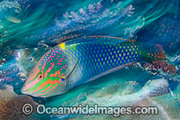 Checkerboard Wrasse Halichoeres hortulanus Photo - MIchael Patrick O'Neill