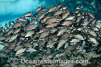 School of Mangrove Snapper Photo - Michael Patrick O'Neill
