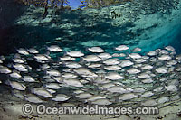 School of Mangrove Snapper Lutjanus griseus Photo - Michael Patrick O'Neill