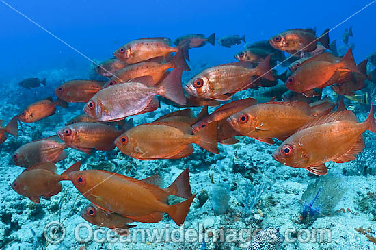 School of Glass-eye Snapper (Heteropriacanthus cruentatus). Also known as Big-eye Snapper and Duskyfin Bigeye. Found throughout Indo-C. Pacific, including Great Barrier Reef. Photo taken Palm Beach, Florida, USA