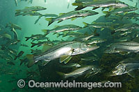 Common Snook Centropomus undecimalis Photo - Michael Patrick O'Neill