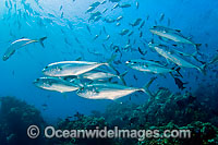 Big-eye Trevally Caranx sexfasciatus Photo - Michael Patrick O'Neill
