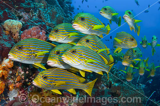 School of Ribbon Sweetlips (Plectorhynchus polytaenia). Also known Striped and Yellow-ribbon Sweetlips. Found throughout Indo Pacific. This photo was taken in Komodo National Park, Indonesia, where over 1,000 types of fish occur.