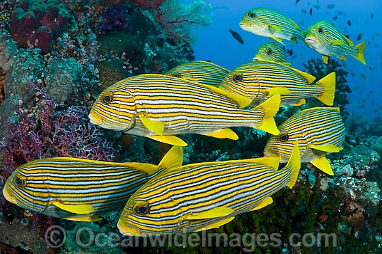 School of Striped Sweetlips (Plectorhynchus polytaenia). Also known Striped and Yellow-ribbon Sweetlips. Found throughout Indo Pacific. This photo was taken in Komodo National Park, Indonesia, where over 1,000 types of fish occur.
