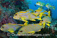 School of Ribbon Sweetlips Photo - Michael Patrick O'Neill