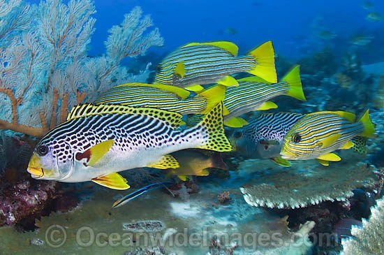 Diagonal banded sweetlips plectorhinchus lineatus stock photo for Sweet lips fish