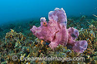Paddle-flap Scorpionfish Rhinopias eschmeyeri photo