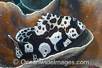 Many-spotted Sweetlips Photo - Michael Patrick O'Neill