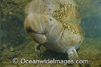 Captive Florida Manatee Photo - Michael Patrick O'Neill