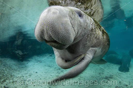 Florida Manatee (Trichechus manatus latirostris) in the Three Sisters Spring, Crystal River, Florida, USA