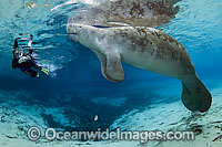 Snorkeler and Florida Manatee Photo - Michael Patrick O'Neill